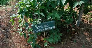 gymnema obat tradisional untuk diabetes