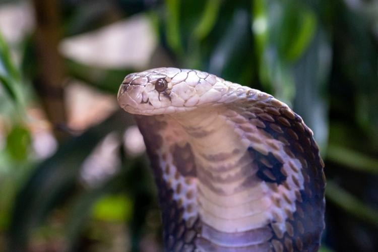 ular_coronavirus